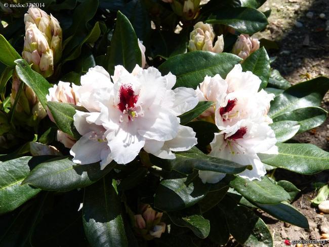 Rhododendron - espèces, variétés, floraisons GBPIX_photo_619385