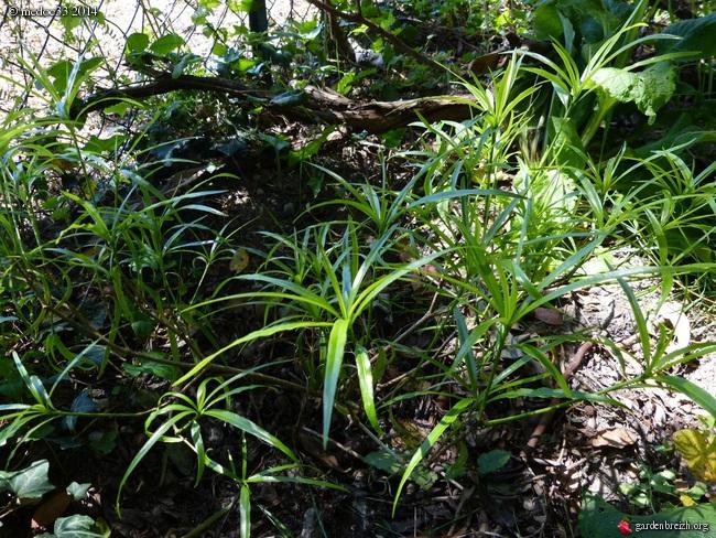 Stachyurus salicifolius, Callistemon teretifolius, Pittosporum illicioides angustifolium, Myrceugenia planipes [devinette] GBPIX_photo_619679