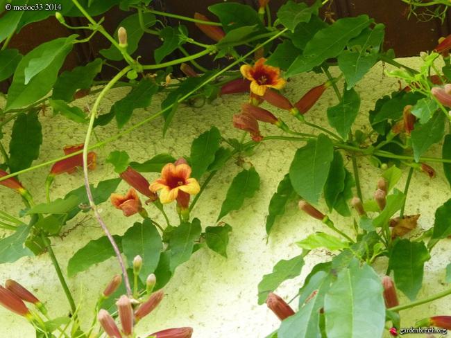 Bignonia capreolata GBPIX_photo_619769