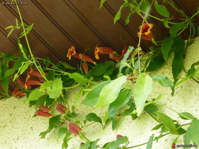 Bignonia capreolata GBPIX_photo_619770