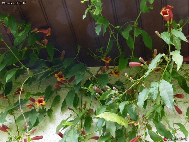 Bignonia capreolata GBPIX_photo_619771