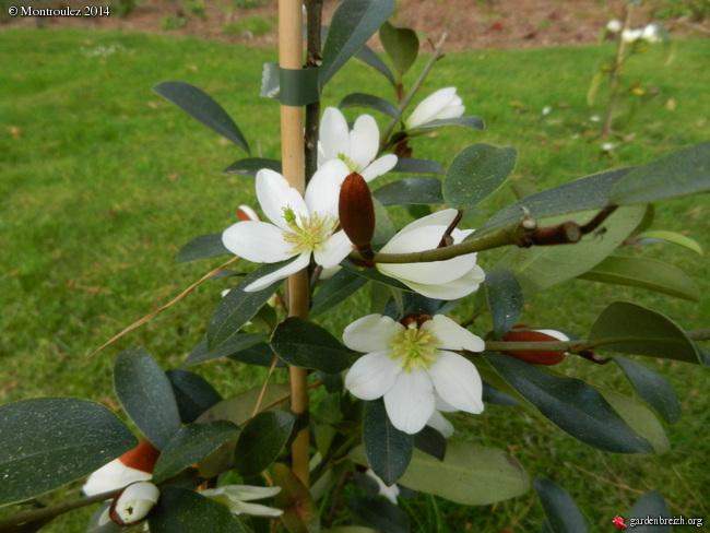 Magnolias - Page 14 GBPIX_photo_619788