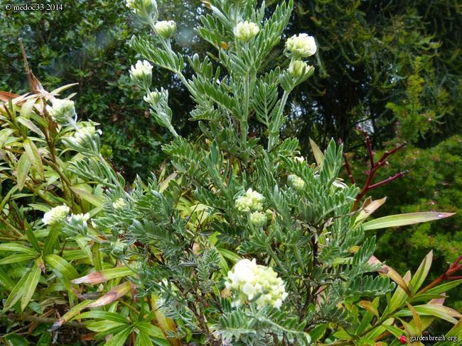 Melaleuca wilsonii, Anthyllis barba-jovis, Sophora davidii, Callistemon pinifolius [devinette] GBPIX_photo_620173