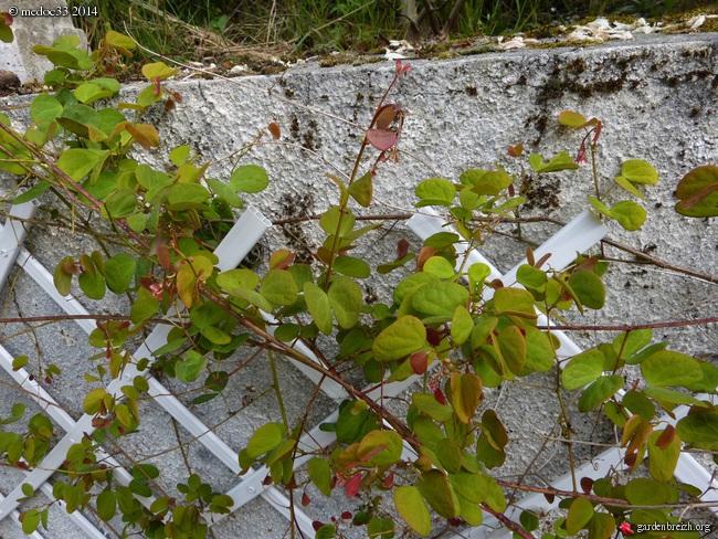 Phoebe sheareri, Bauhinia yunnannensis, Actinidia rubricaulis var coriacea, Illicium simonsii [devinette] GBPIX_photo_620174