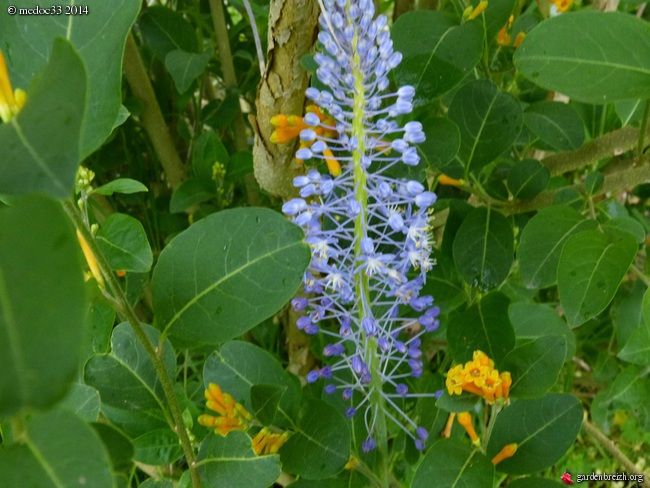 Scilla natalensis, Carmichaelia, Rhododendron spinuliferum, Alonsoa meridionalis [devinette] GBPIX_photo_620705