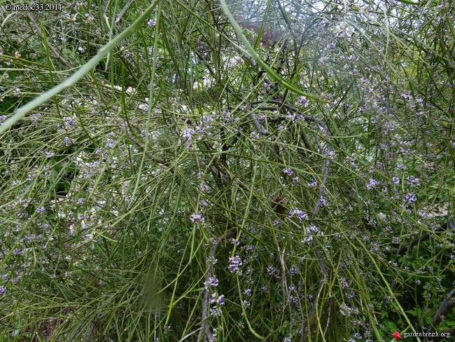 Scilla natalensis, Carmichaelia, Rhododendron spinuliferum, Alonsoa meridionalis [devinette] GBPIX_photo_620719