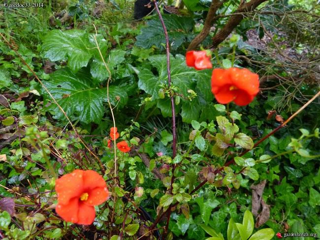 Scilla natalensis, Carmichaelia, Rhododendron spinuliferum, Alonsoa meridionalis [devinette] GBPIX_photo_620758