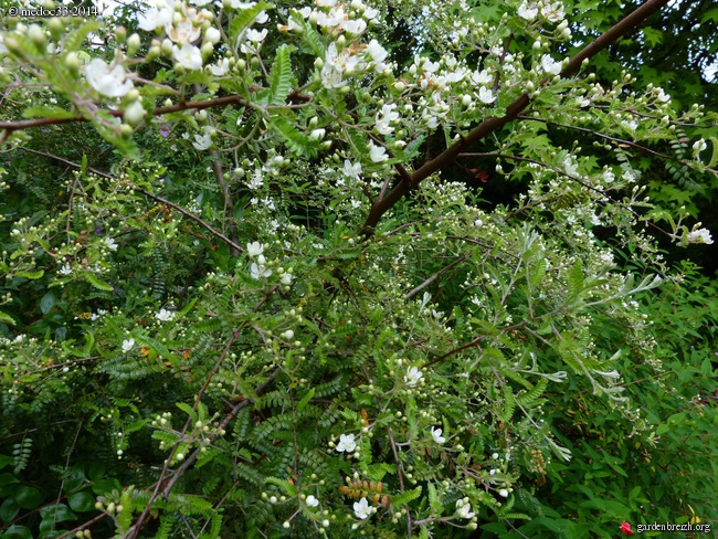 Myrsine africana, Dianella tasmanica, Osteomeles schweriniae var microphylla, Manglietia chingii [devinette] GBPIX_photo_621663