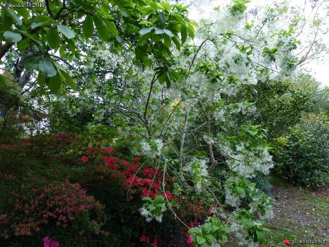 Chionanthus virginicus - chionanthe de Virginie GBPIX_photo_621678