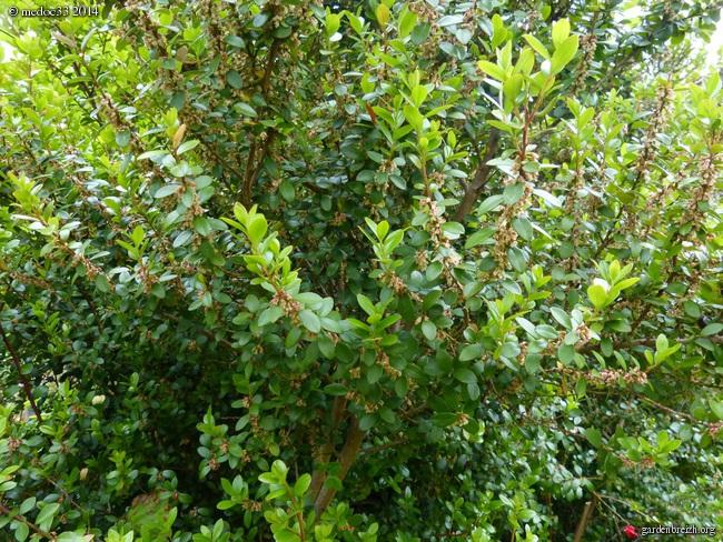 Myrsine africana, Dianella tasmanica, Osteomeles schweriniae var microphylla, Manglietia chingii [devinette] GBPIX_photo_621700