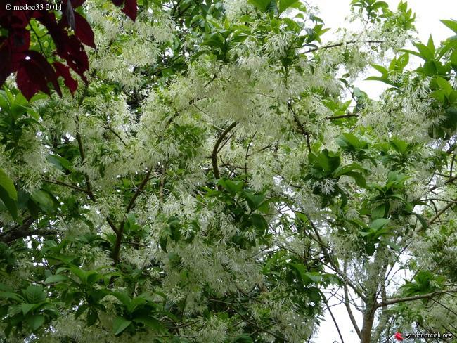 Chionanthus virginicus - chionanthe de Virginie GBPIX_photo_621845