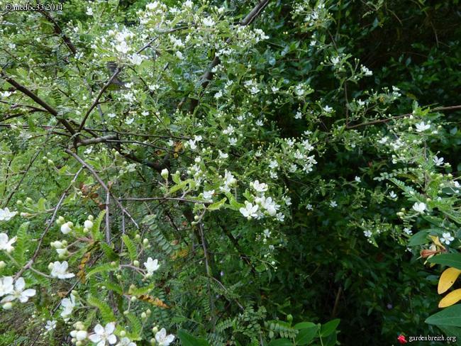 Myrsine africana, Dianella tasmanica, Osteomeles schweriniae var microphylla, Manglietia chingii [devinette] GBPIX_photo_622196