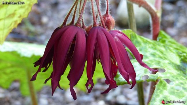 Podophyllum - le genre GBPIX_photo_622463