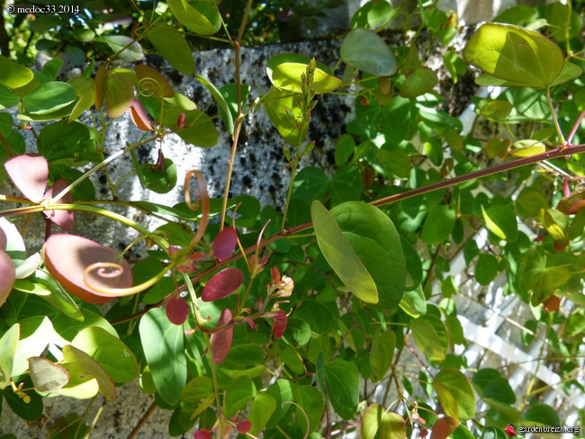 Phoebe sheareri, Bauhinia yunnannensis, Actinidia rubricaulis var coriacea, Illicium simonsii [devinette] GBPIX_photo_623121