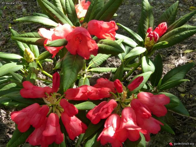 Rhododendron - espèces, variétés, floraisons - Page 3 GBPIX_photo_623214