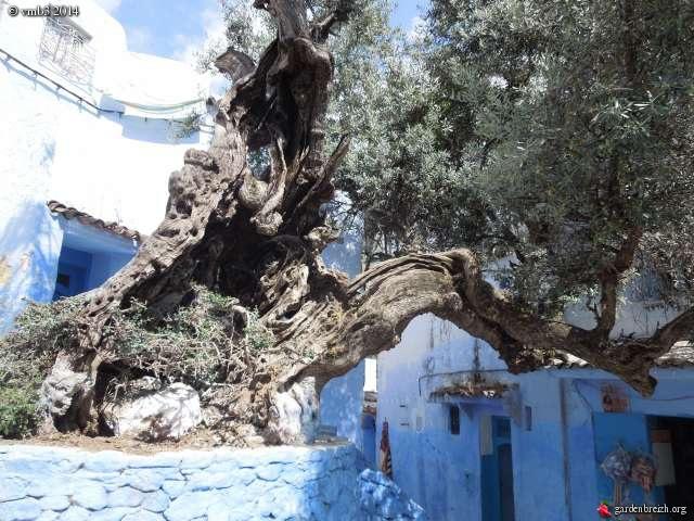 La culture et l'entretien de l'olivier- -Olea Europea - Page 3 GBPIX_photo_623916