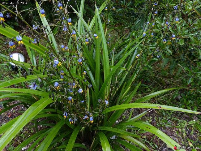 dianella - Dianella tasmanica GBPIX_photo_624000