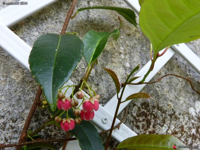 Actinidia rubricaulis var coriacea GBPIX_photo_624192