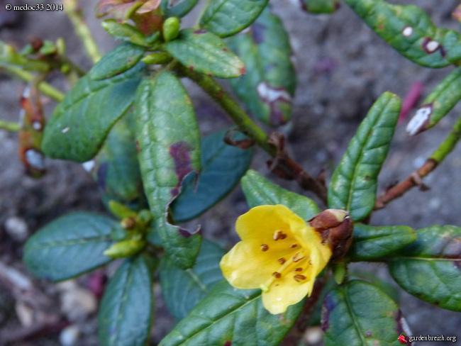 Rhododendron - espèces, variétés, floraisons - Page 3 GBPIX_photo_625229