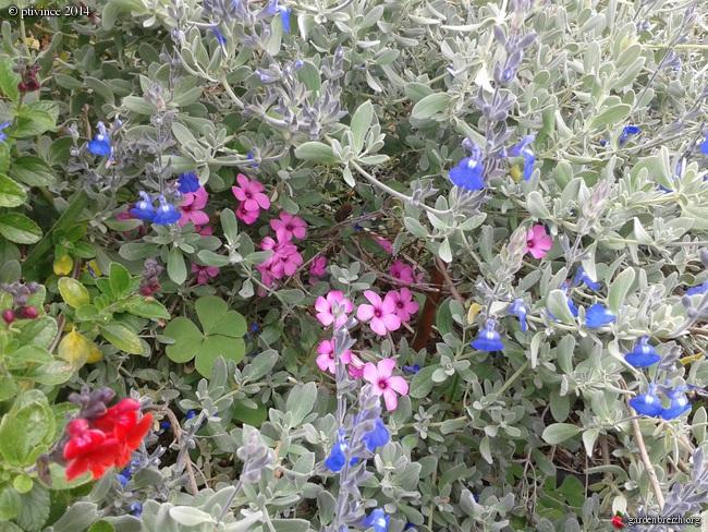 Salvia chamaedryoides GBPIX_photo_625988