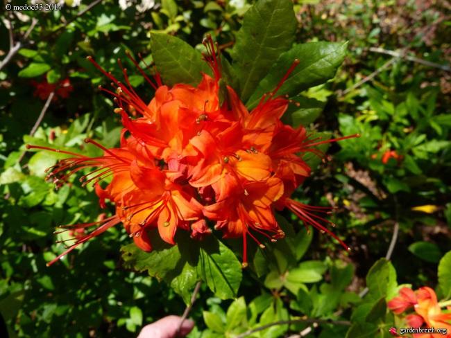 Rhododendron bakeri 'Camps Red', Prostanthera lasianthos, Hypoxis hirsuta, Hoheria 'Glory of Amlwch', Franklinia alatamaha [devinette] GBPIX_photo_626158