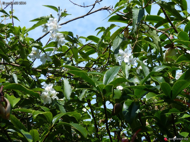 Rhododendron bakeri 'Camps Red', Prostanthera lasianthos, Hypoxis hirsuta, Hoheria 'Glory of Amlwch', Franklinia alatamaha [devinette] GBPIX_photo_626161