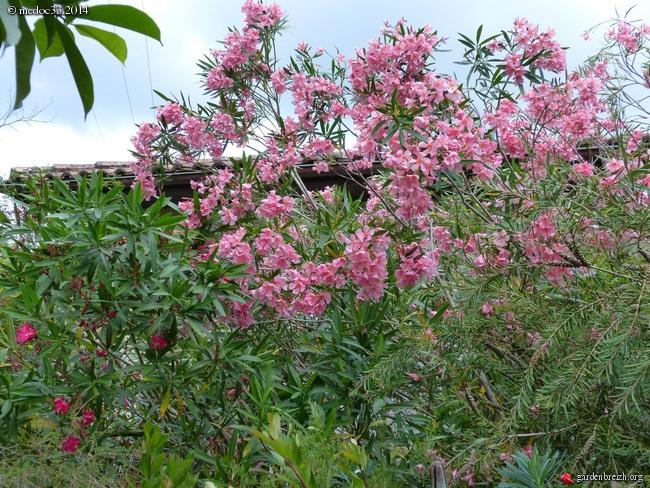 Nerium oleander - laurier rose GBPIX_photo_629610