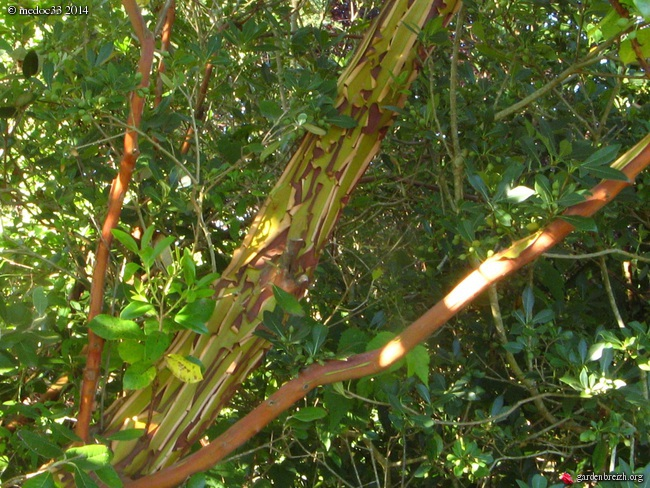 Arbutus andrachne GBPIX_photo_630001