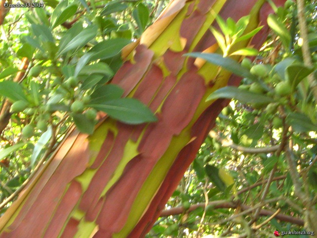 Arbutus andrachne GBPIX_photo_630011