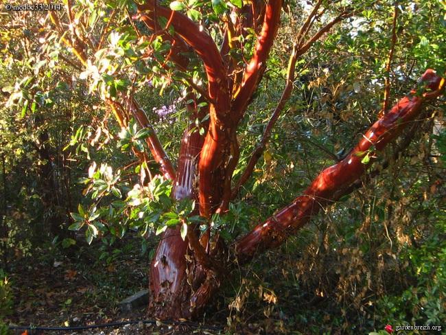 Arbutus andrachne GBPIX_photo_630021
