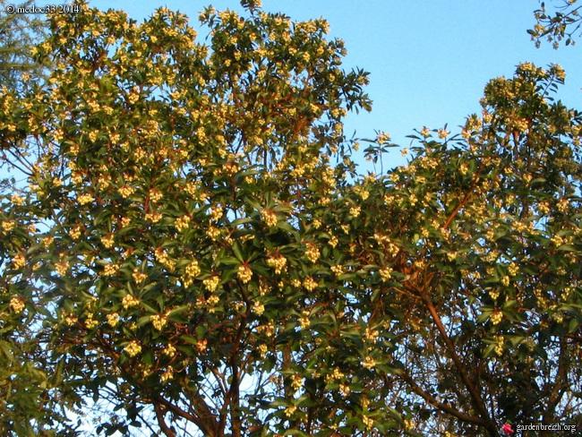 Arbutus andrachne GBPIX_photo_630029