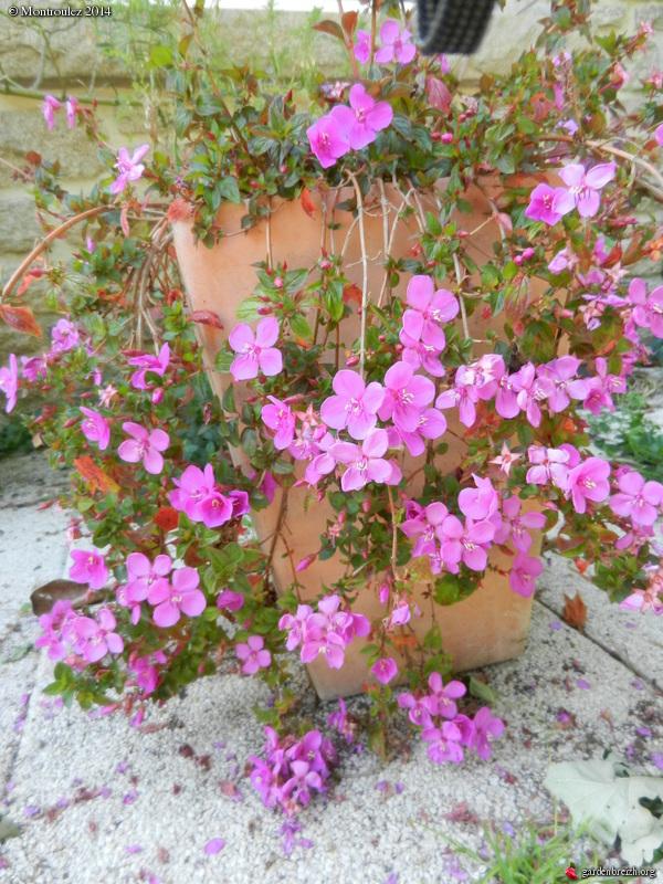 Rusticité Phymosia umbellata, centradenia floribunda et bégonia sutherlandii GBPIX_photo_630669