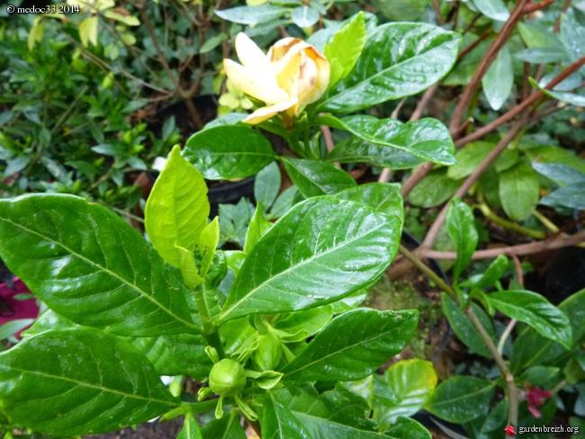 Gardenia rustiques GBPIX_photo_630815