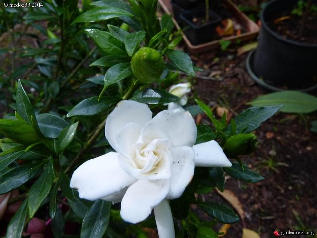 Gardenia rustiques GBPIX_photo_630816