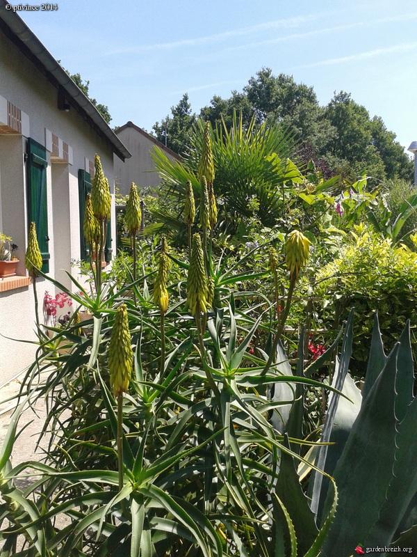 Aloe striatula GBPIX_photo_631007