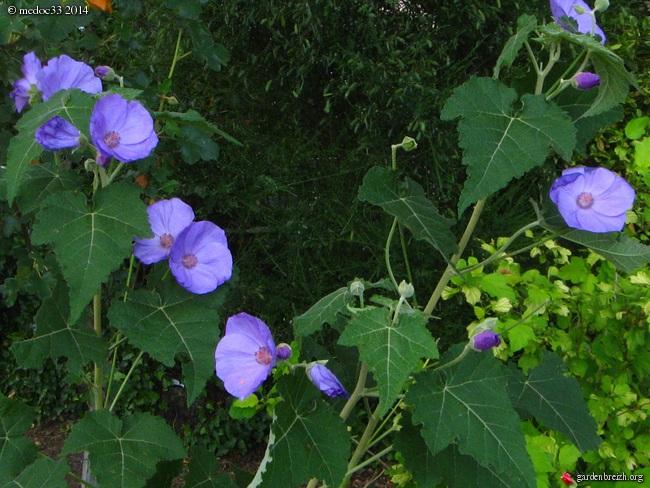 Abutilon vitifolium - abutilon à feuille de vigne  GBPIX_photo_631029