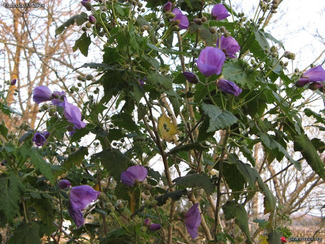 Abutilon vitifolium - abutilon à feuille de vigne  GBPIX_photo_631030