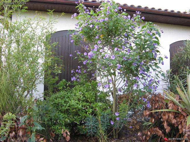 Abutilon vitifolium - abutilon à feuille de vigne  GBPIX_photo_631031