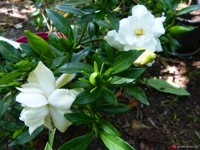 nos plantes parfumées - 2011-2015 - Page 3 GBPIX_photo_631430