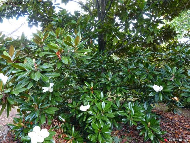 nos plantes parfumées - 2011-2015 - Page 3 GBPIX_photo_633104