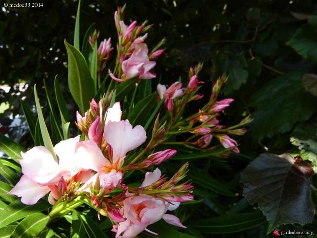 nos plantes parfumées - 2011-2015 - Page 3 GBPIX_photo_633112
