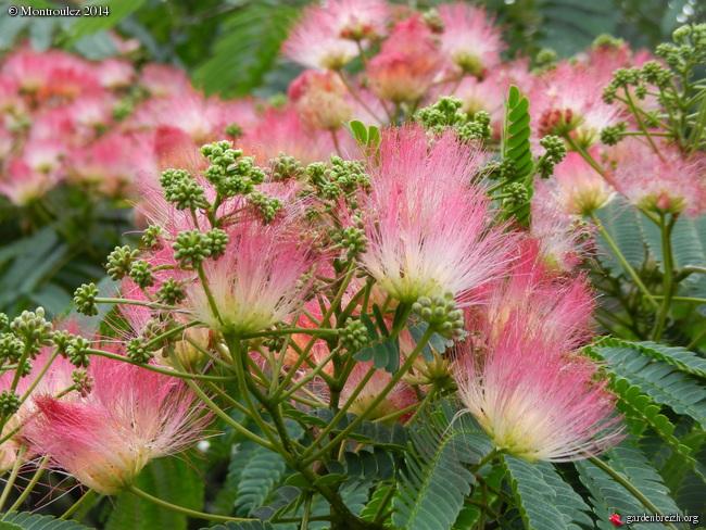 Albizia julibrissin - arbre à soie  GBPIX_photo_634518
