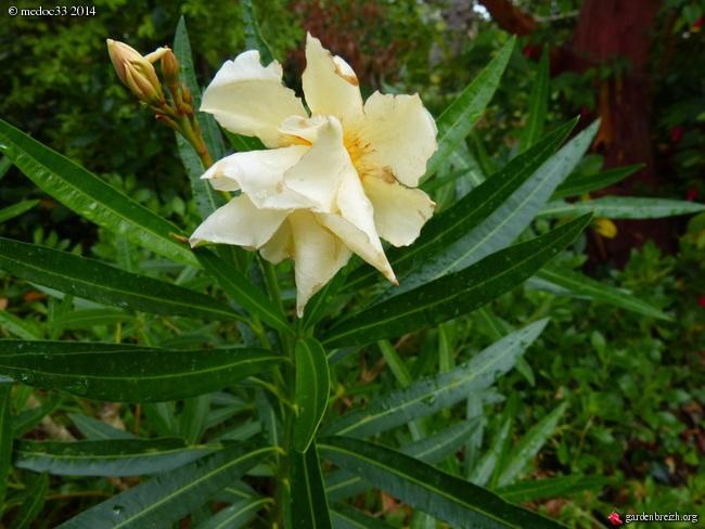 Nerium oleander - laurier rose GBPIX_photo_635381