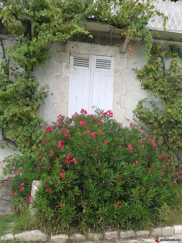 Nerium oleander - laurier rose GBPIX_photo_635479