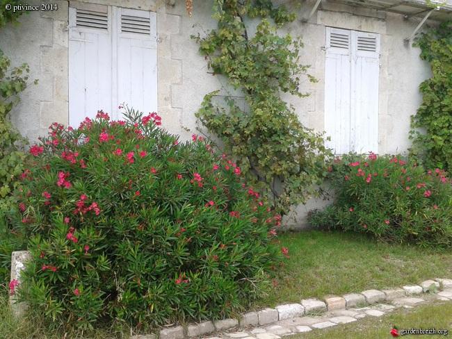 Nerium oleander - laurier rose GBPIX_photo_635480
