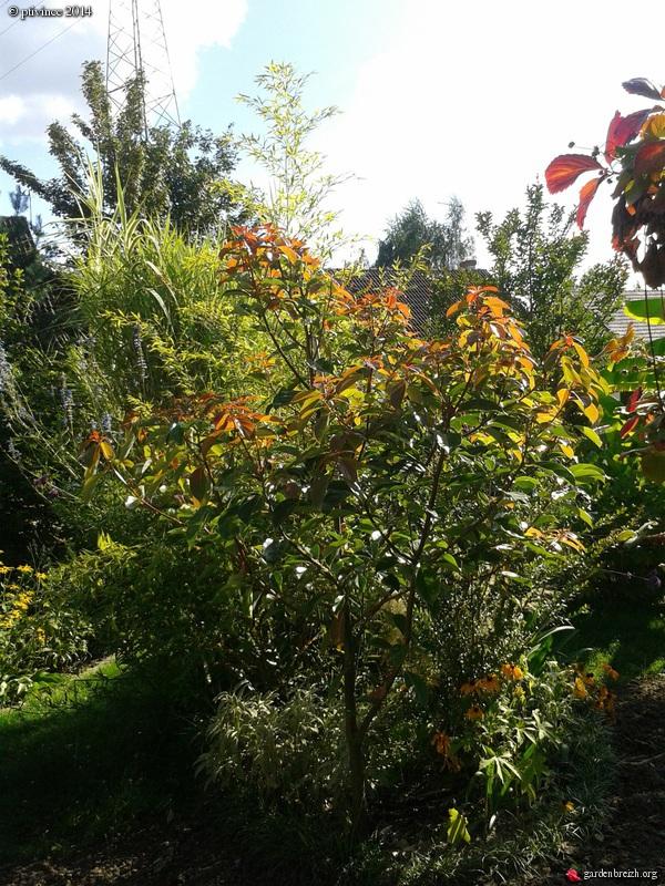 Cinnamomum camphora - camphrier GBPIX_photo_636340