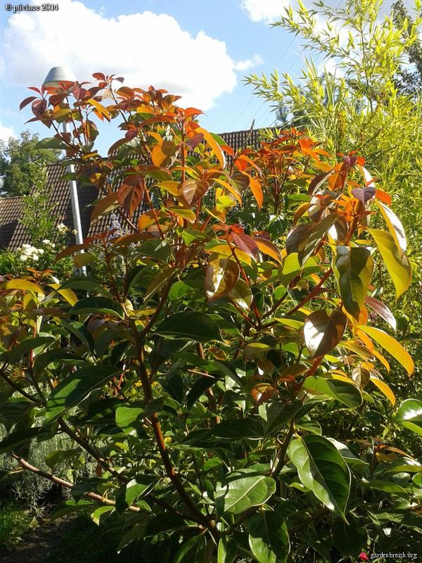 Cinnamomum camphora - camphrier GBPIX_photo_636342