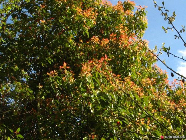 Cinnamomum camphora - camphrier GBPIX_photo_636429