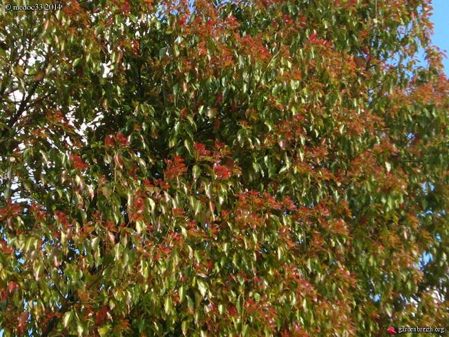 Cinnamomum camphora - camphrier GBPIX_photo_636430