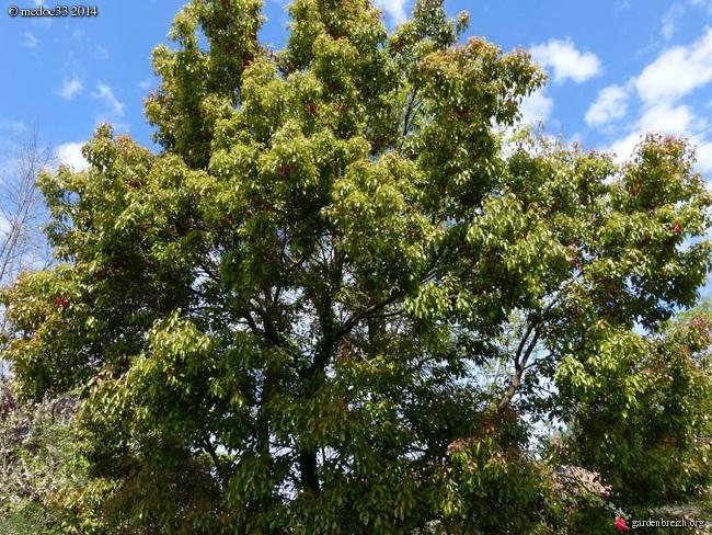 Cinnamomum camphora - camphrier GBPIX_photo_636431